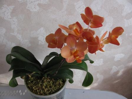 Цветение орхидеи рода Фаленопсис