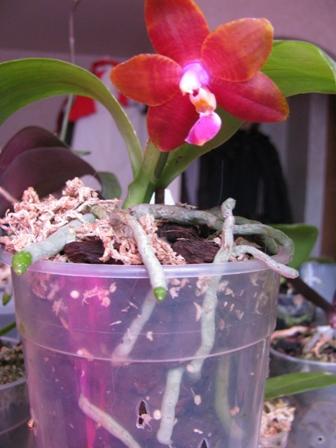Цветение орхидеи рода Фаленопсис после активного наращивания корней