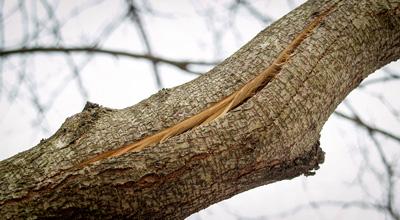 Трещина на деревьях