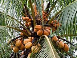 Качество кокосового экстрата