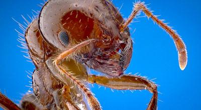 Усики-антенны с помощью которых муравьи ощущают запахи