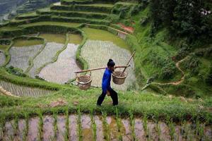 Одомашнивание риса в Китае