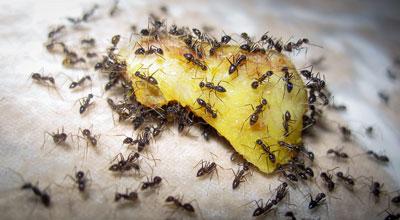 Борная кислота и мед - отрава для муравьев