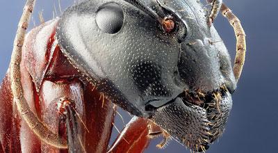 Королева - самка муравьев