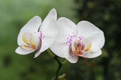Удобрения для орхидей Покон
