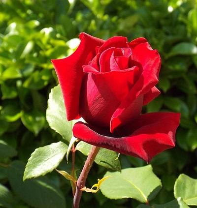 Покон удобрение для роз