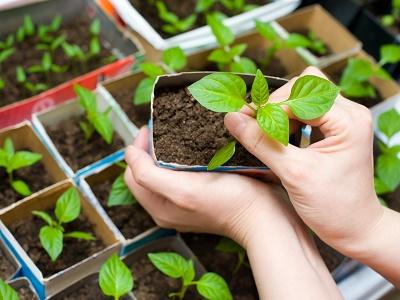 Стимуляторы роста и удобрения для рассады
