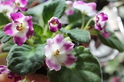 Удобрение для комнатных растений - фиалки